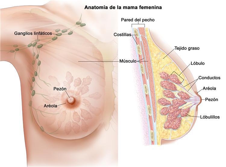 Mama anatomía